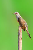 Plaintive Cuckoo bird Stock Photography