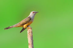 Plaintive Cuckoo bird Stock Photos