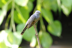 Plaintive Cuckoo Cacomantis merulinus Royalty Free Stock Images