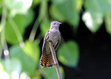 Plaintive Cuckoo Stock Photography