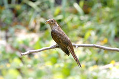 Plaintive Cuckoo Cacomantis merulinus Stock Photography