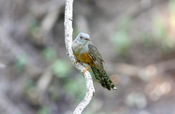 Plaintive Cuckoo Cacomantis merulinus Stock Photo