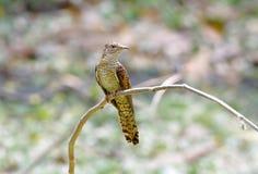 Plaintive Cuckoo Cacomantis merulinus Royalty Free Stock Photo