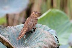 Plaintive Cuckoo Cacomantis merulinus Stock Photography