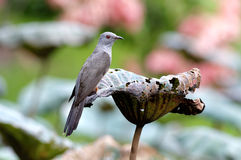 Plaintive Cuckoo Cacomantis merulinus Stock Image