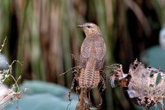 Plaintive Cuckoo Cacomantis merulinus Royalty Free Stock Images