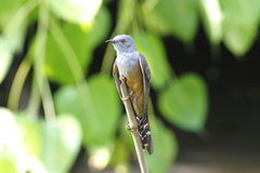 Plaintive Cuckoo Cacomantis merulinus Royalty Free Stock Photos