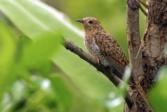 Plaintive Cuckoo juvenile Royalty Free Stock Photography