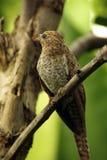 Plaintive Cuckoo juvenile Stock Photography