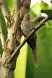 Plaintive Cuckoo juvenile Stock Photos