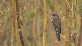 Plaintive Cuckoo on Shrubbery Stock Images