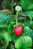 Plaisir 02 de fraise Photographie stock