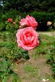 Plaisir de França Rosa Fotografia de Stock Royalty Free