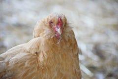 Plaisir de poulet Image libre de droits