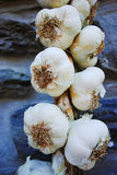 Plait of white garlic heads hanging on the stone wall Stock Images
