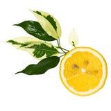 Plak van citroen met bladeren Stock Afbeeldingen