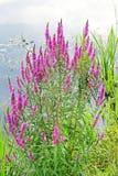 Plakun-grass (Lythrum salicаria) Stock Photo