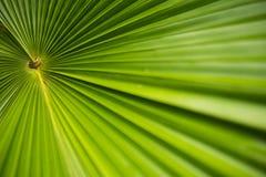 Plam-Blatt im Garten Tropische Anlage mit frischem Blatthintergrundfoto Lizenzfreies Stockfoto
