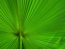 Plam Leaf. Beauty and integrity of palm leaves Stock Photos