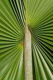 Plam Leaf on Background Royalty Free Stock Image