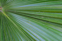 Plam Leaf BlackGround. The beautiful green palm leaf background Royalty Free Stock Photos
