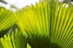 Plam leaf closeup Royalty Free Stock Photos