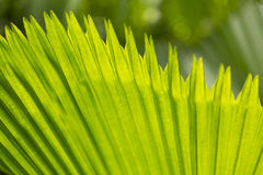 Plam leaf closeup Royalty Free Stock Image