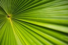 Plam leaf in garden.Tropical plant with fresh leaf background photo. Royalty Free Stock Photo