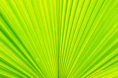 Plam leaf texture Royalty Free Stock Images