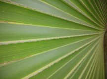 Plam leaf Stock Photography