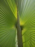 Plam leaf Stock Image