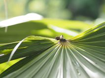 Palm leaves have a distinctive shape green color background. Nature royalty free stock photo