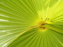 Palm leaves have a distinctive shape green color background. Closeup Palm leaves have a distinctive shape green color background nature royalty free stock images