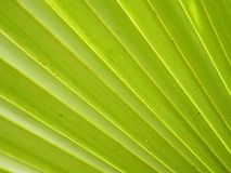 Palm leaves have a distinctive shape green color background. Closeup Palm leaves have a distinctive shape green color background royalty free stock photo
