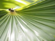 Palm leaves have a distinctive shape green color background. Closeup Palm leaves have a distinctive shape green color background environment nature royalty free stock photos