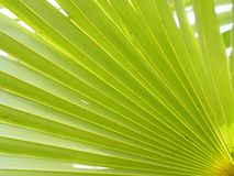 Palm leaves have a distinctive shape green color background. Closeup palm leaves have a distinctive shape green color background nature stock photo