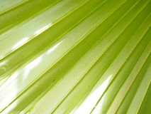 Palm leaves have a distinctive shape green color background. Nature stock photography