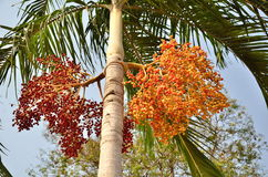 Plam plant from asia. Areca catechu: plam plant from asia Royalty Free Stock Image