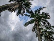 Plam träd med bakgrund för vitt moln och för blå himmel royaltyfria bilder