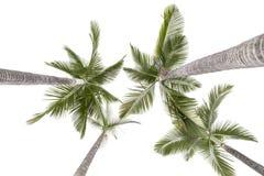 Plam träd som isoleras på vit Royaltyfria Bilder