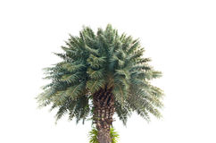 Plam tree Stock Image