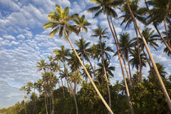 Plam Trees, Fiji Royalty Free Stock Photography