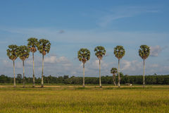 Plam trees and rice fields. Landscape of plam tree and rice fields Stock Photos