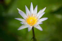 Plama biały lotos z zielonym liściem Zdjęcie Stock