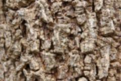 Plama Cluse up Indiański korkowy drzewo Obraz Royalty Free