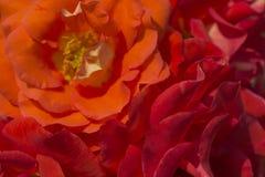 Plama różani płatki, zakończenie w górę, abstrakcjonistyczny tło zdjęcia royalty free