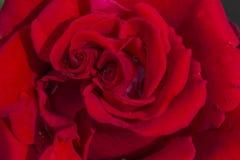Plama różani płatki, zakończenie w górę, abstrakcjonistyczny tło obrazy royalty free