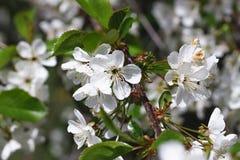 Plama, ruch plama Zbliżenie kwitnąca czereśniowa kwitnie jabłoń Fotografia Royalty Free