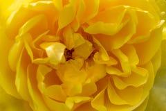 Plama styl dla tła: kolor żółty róży płatki w miękkim kolorze fotografia royalty free
