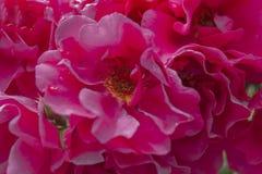 Plama styl dla tła: menchii róży płatki w miękkim kolorze obraz stock